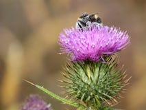 在蓟的土蜂 库存图片