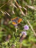 在蓟的小铜蝴蝶 免版税库存图片