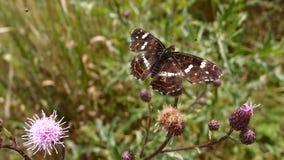 在蓟的布朗蝴蝶 免版税库存照片