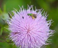 在蓟的汗水蜂 免版税库存照片