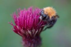 在蓟的蜜蜂饲养 免版税库存照片