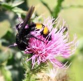 在蓟的黄蜂 免版税库存图片