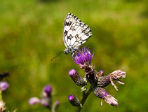 在蓟的蝴蝶 免版税库存图片