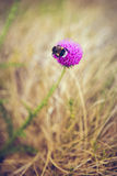 在蓟花的土蜂 免版税库存图片
