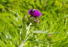 在蓟花的土蜂 免版税库存照片