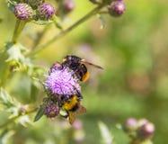 在蓟花的土蜂 图库摄影