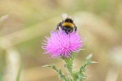在蓟花的蜂 免版税库存图片