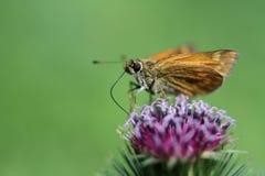 在蓟花的Skpper蝴蝶 免版税库存图片