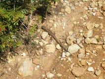 在蓬乱的地面上的蜥蜴 免版税库存图片