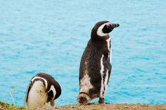 在蓬塔Delgada的企鹅在PenÃnsula Valdés 库存图片