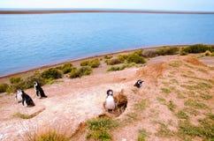 在蓬塔Delgada的企鹅在PenÃnsula Valdés 图库摄影