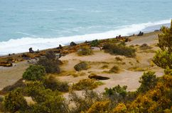 在蓬塔Norte的海狮 免版税库存图片