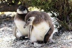 在蓬塔Tombo储备,一的麦哲伦企鹅小鸡最大在世界上,阿根廷 库存图片
