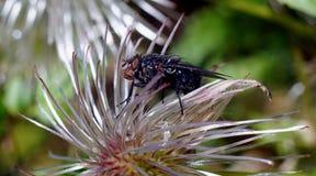在蓬松白花的大黑蝇 库存照片
