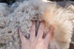 在蓬松羊魄羊毛的妇女的棕榈 免版税库存图片