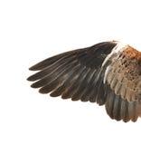 在蔓延的白色的鸟翼末端 免版税图库摄影