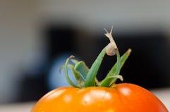 在蕃茄的一只小蜗牛 免版税库存图片