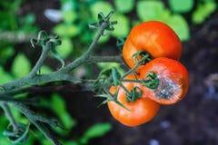 在蕃茄的灰色模具 库存图片