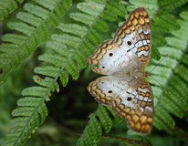 在蕨叶状体的白色孔雀铗蝶。 免版税图库摄影