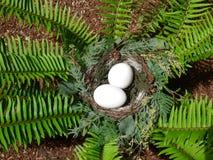 在蕨巢的鸡蛋 库存照片