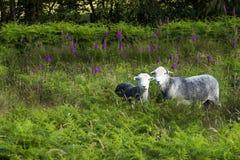 在蕨的两只绵羊, Cumbria,英国 免版税库存图片