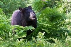 在蕨的黑熊 免版税库存照片