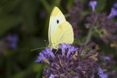 在薄荷的花的粉蝶蝴蝶在南温莎, Connec 免版税库存图片