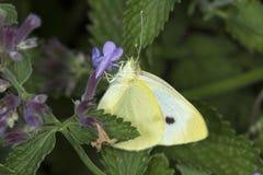 在薄荷的花的粉蝶蝴蝶在南温莎, Connec 免版税图库摄影