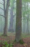 在薄雾的三棵老树 免版税库存照片
