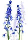 在薄雾的会开蓝色钟形花的草 库存图片