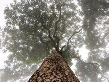 在薄雾的大树 库存图片