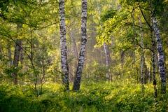 在薄雾的桦树 免版税图库摄影