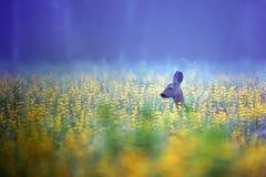 在薄雾的獐鹿鹿 免版税库存照片