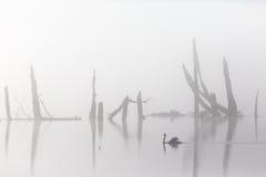 在薄雾的疣鼻天鹅 免版税库存照片
