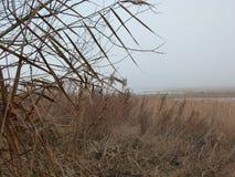 在薄雾的芦苇 免版税图库摄影