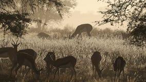 在薄雾的跳羚羚羊 股票视频