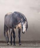 在薄雾的阿拉伯马在多云天气 库存图片