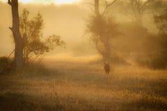 在薄雾的鬣狗 库存照片