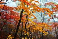在薄雾的黄色和红色叶子 免版税库存图片