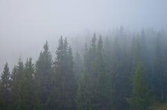 在薄雾盖的杉树 库存照片
