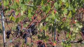 在藤分支和豪华的绿色葡萄叶子的成熟黑暗的葡萄在阳光下 股票视频