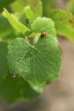 在藤叶子的瓢虫 免版税库存照片