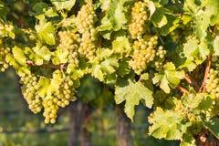 在藤的成熟白色蕾斯霖葡萄在葡萄园里 免版税库存照片