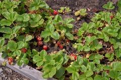 在藤的成熟草莓 库存照片