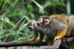 在藤的爬行的母亲和小松鼠猴子 免版税库存图片