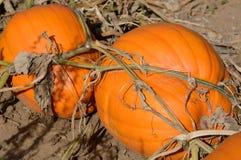 在藤的秋天南瓜 库存图片
