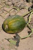 在藤的秋天南瓜 免版税图库摄影