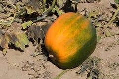 在藤的秋天南瓜 免版税库存图片
