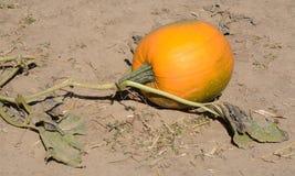 在藤的秋天南瓜 图库摄影