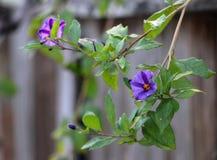 在藤的精美紫色花 免版税库存照片